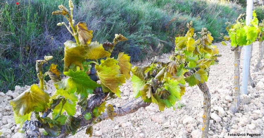 La gelada del 2 de maig a la Terra Alta va afectar fins al 90% de vinya a determinades parcel·les