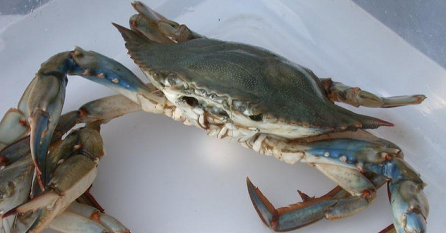 Agricultura atorga les primeres llicències per a la pesca de cranc blau a les Terres de l'Ebre