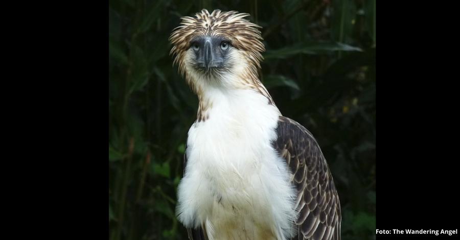 L'àguila més amenaçada del món serà al DeltaBirding Festival