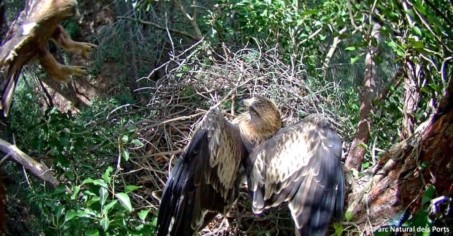 El Parc Natural dels Ports fa el seguiment d'un niu d'àguila calçada a través d'una càmera web