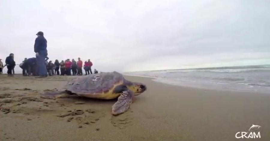Alliberades 15 tortugues babaues a la platja del Trabucador