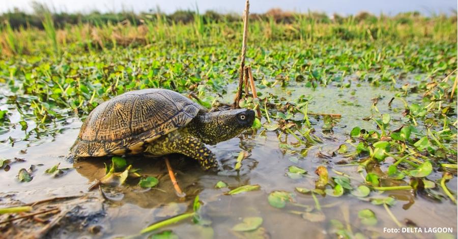S'alliberaran 20 exemplars de tortuga d'estany a la Fundació Plegadis