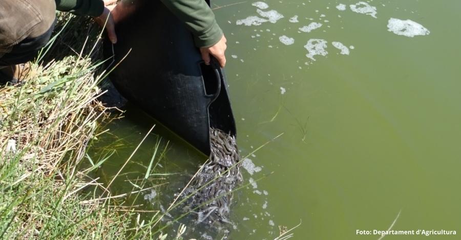 S'alliberen més de 55.000 exemplars d'anguila a les llacunes del delta de l'Ebre