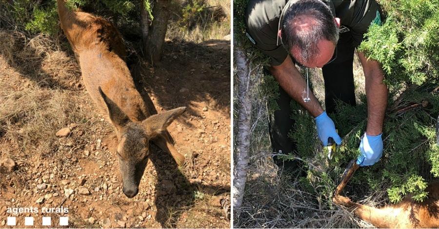 Agents rurals alliberen una femella de cabirol atrapada amb un llaç a Ulldecona