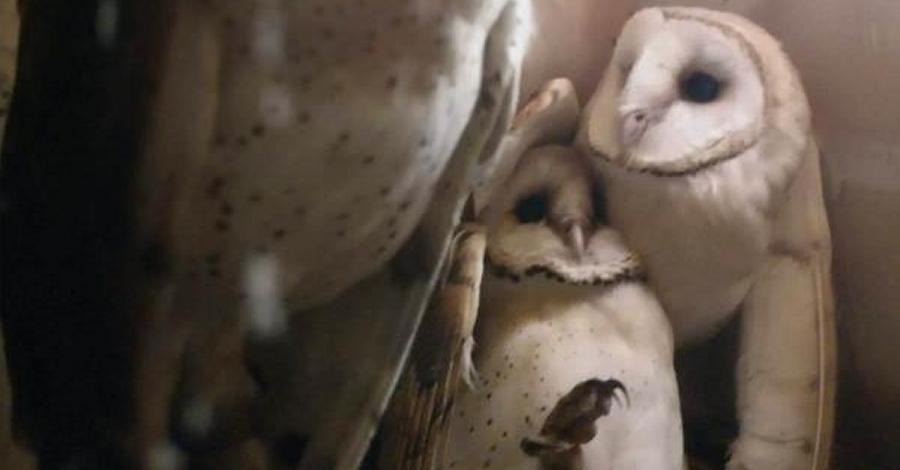 La Fundació Plegadis allibera tres polls de mifa criats en captivitat