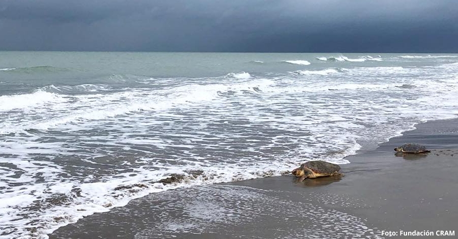 14 tortugues babaues són alliberades a la barra del Trabucador