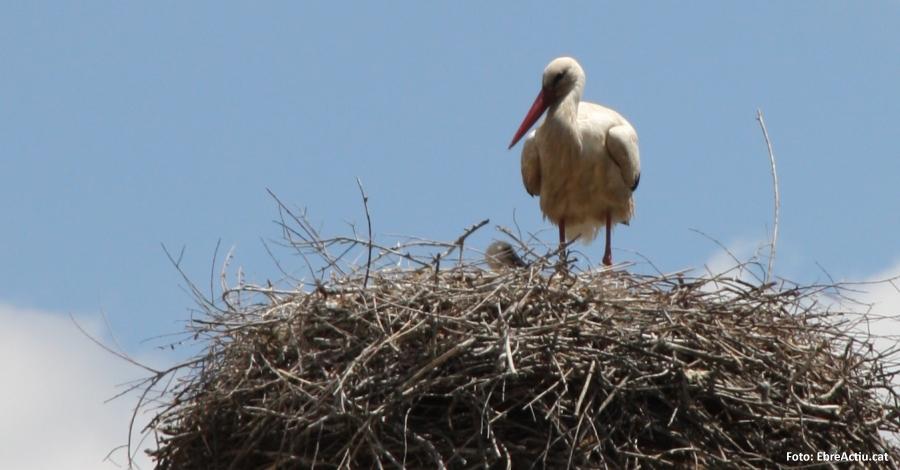 Jornada d´anellament de polls de cigonya blanca a la Reserva Natural de Sebes
