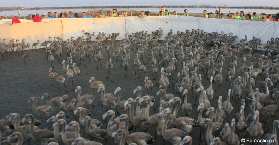 Al 2017 han nascut 2.000 flamencs dels quals 400 polls van anellar-se a la Punta de la Banya