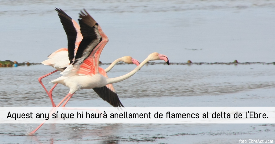 Aquest any s� que hi haur� anellament de flamencs al delta de l�Ebre