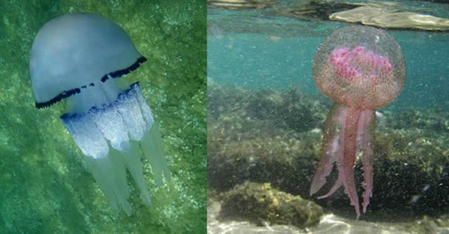 L'app PlatgesCat millora la informació sobre la presència de meduses en el litoral català