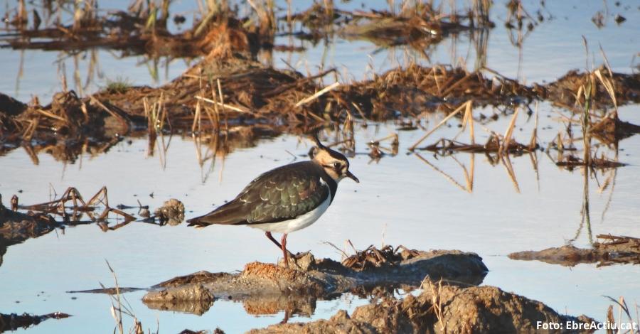 La població d'ocells aquàtics al Parc Natural del Delta de l'Ebre arriba als 257.000 exemplars aquest hivern