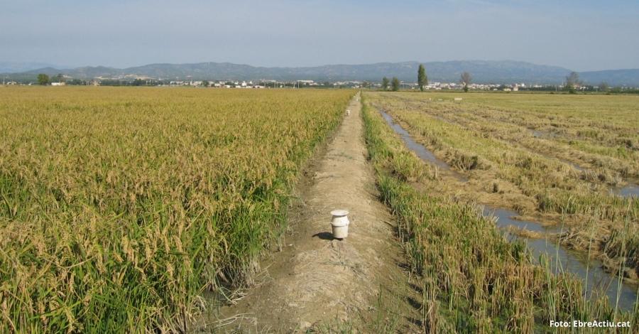 Autoritzen l'ús excepcional de productes fitosanitaris per combatre les plagues que afecten el cultiu de l'arròs