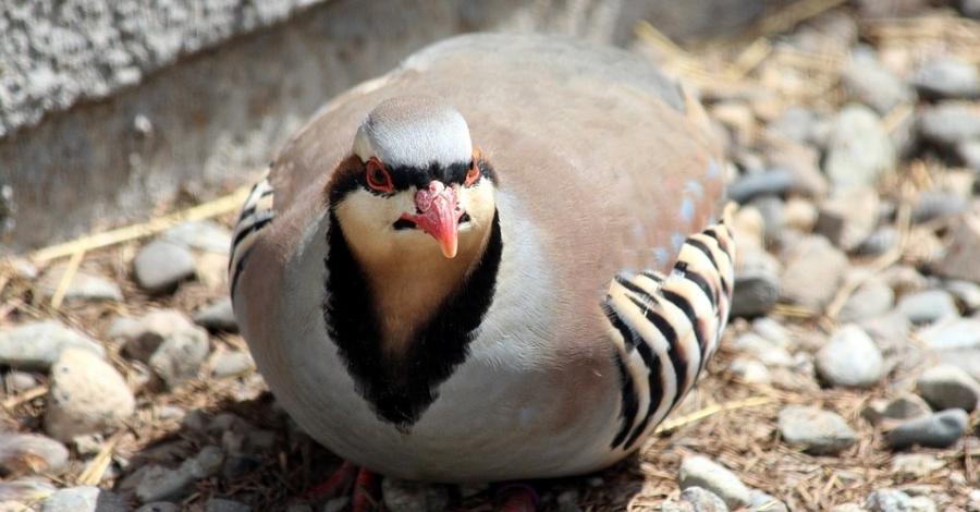 La Societat de Caçadors d'Ulldecona engega una campanya de repoblació de fauna salvatge