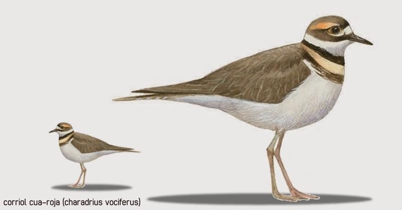 Un corriol cua-roja vist a Aldover