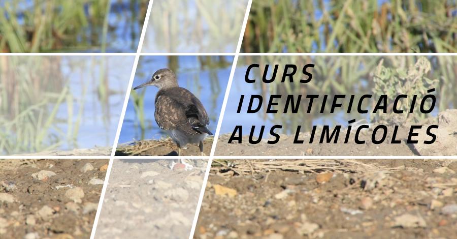 Curs d'identificació d'aus limícoles