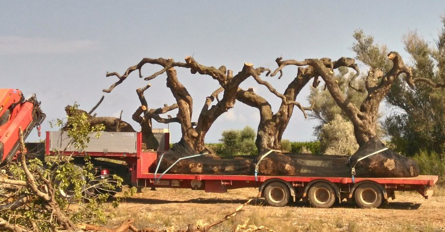 Salvem lo Montsià alerta de l'espoli d'oliveres al Baix Maestrat
