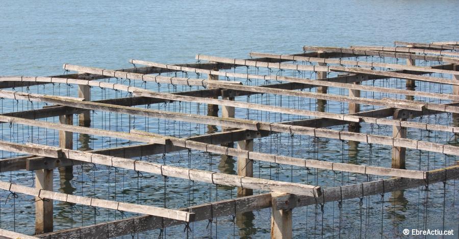 Agricultura presenta un estudi per a millorar la producció de musclos i ostres a la badia del Fangar