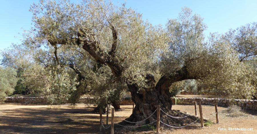 La Farga de l'Arion, entre els candidats a Arbre Europeu de l'Any (European Trees Of de Year)