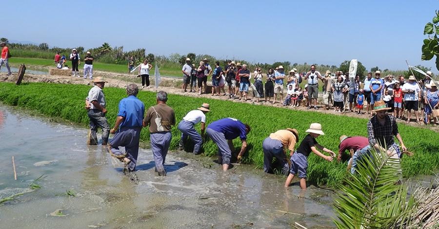 Festa de la Plantada de l'Arròs a Deltebre