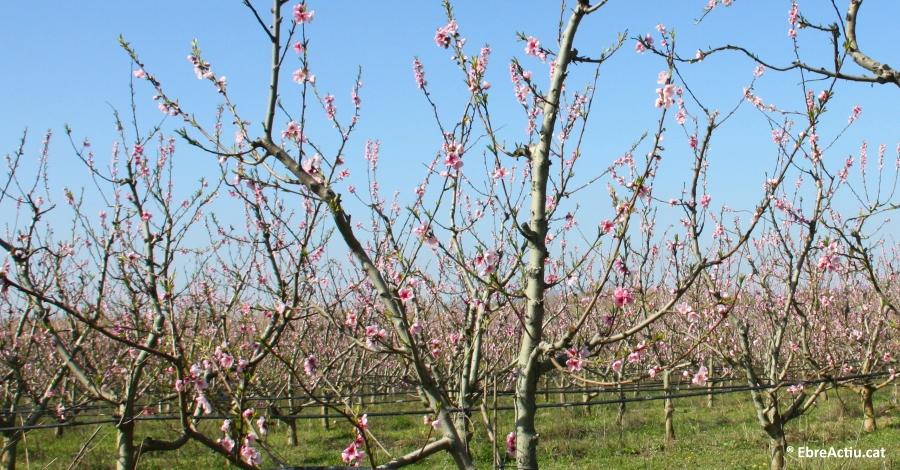 El Consell Comarcal aposta per la floració a la Ribera d'Ebre com a actiu turístic