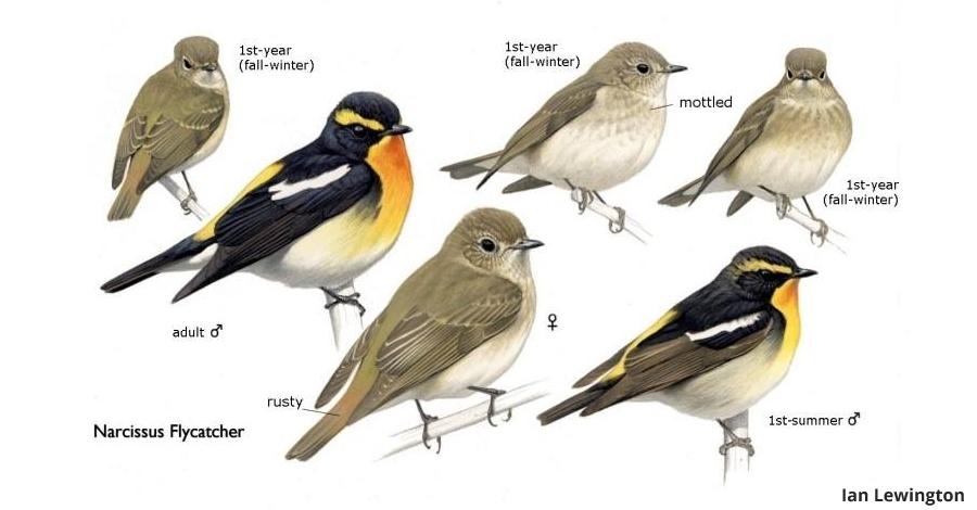 L'il·lustrador d'ocells Ian Lewington serà al Delta Birding Festival