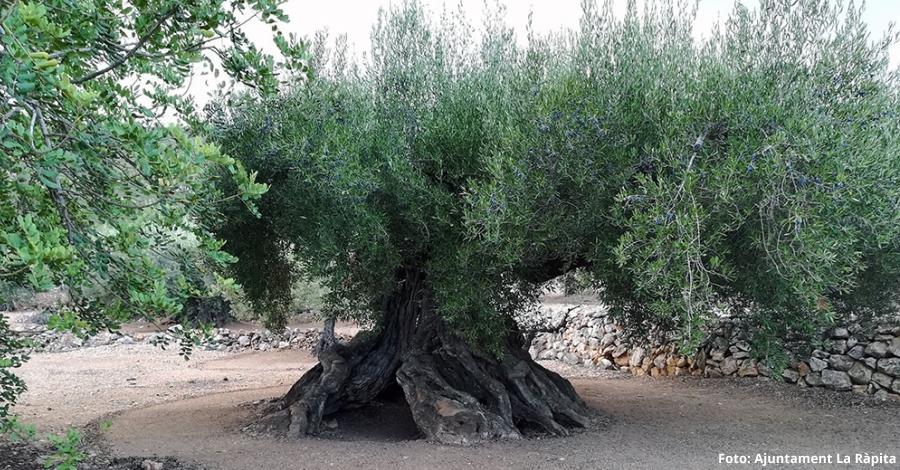 La Ràpita protegeix set oliveres com a arbres d'interès local