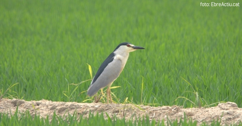 Consells per iniciar-se en l'observació d'ocells al delta de l'Ebre