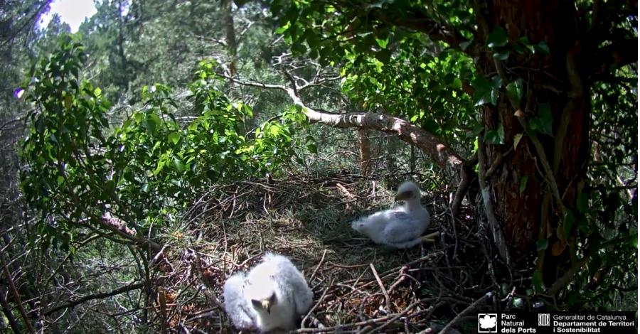 S'instal·la una webcam a un niu d'àguila calçada a la Sierra de Guadarrama