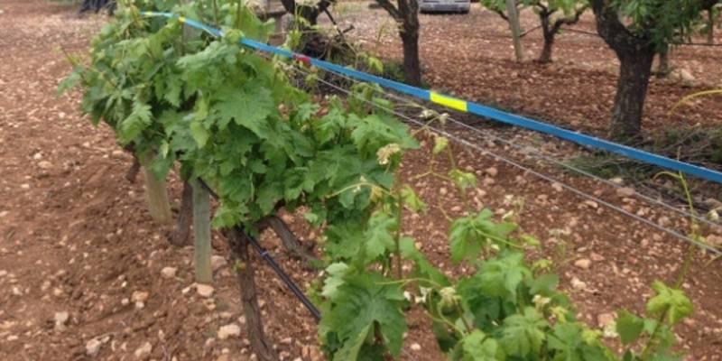 Un nou material pioner a Europa evita morts d'aus per xocs contra vinyes emparrades