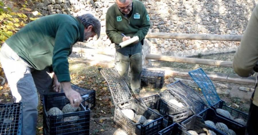 Alliberats al Parc Natural de Montsant més de 200 exemplars de tortuga mediterrània