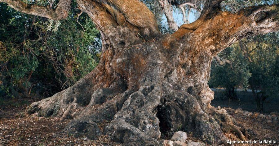 La Ràpita dona a conèixer les seues oliveres mil·lenàries dins les Jornades Europees del Patrimoni 2016