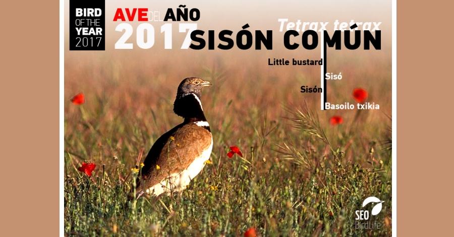 El sisó, declarat ocell de l´any 2017
