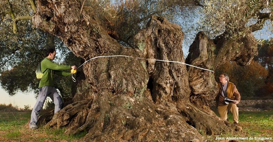 L'olivera de Sinfo de Traiguera, premiada com la Millor Olivera Monumental d'Espanya