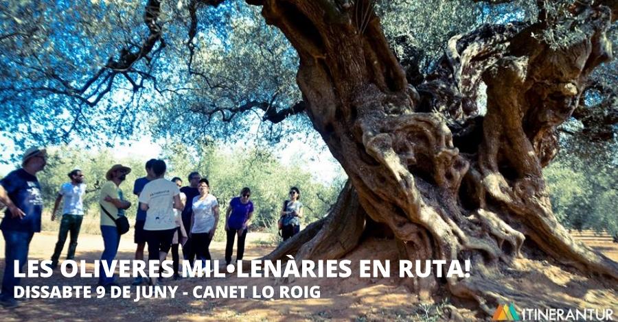 Les oliveres mil·lenàries en ruta