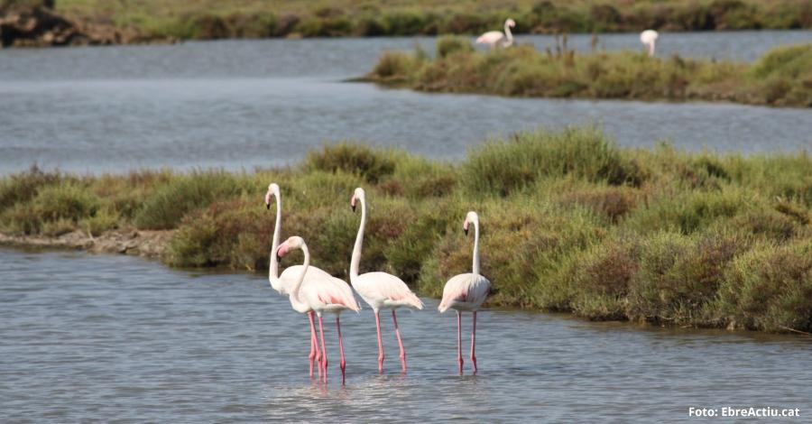 2.176 parelles de flamenc es reprodueixen enguany al Parc Natural del Delta de l'Ebre