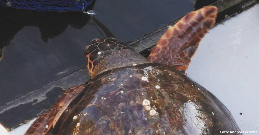 Rescatada una tortuga babaua a les Cases d'Alcanar