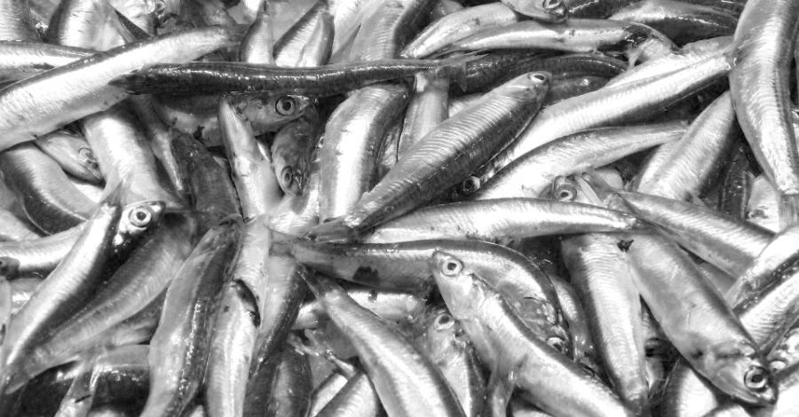 El peix blau reapareix i capgira la crisi de l'encerclament