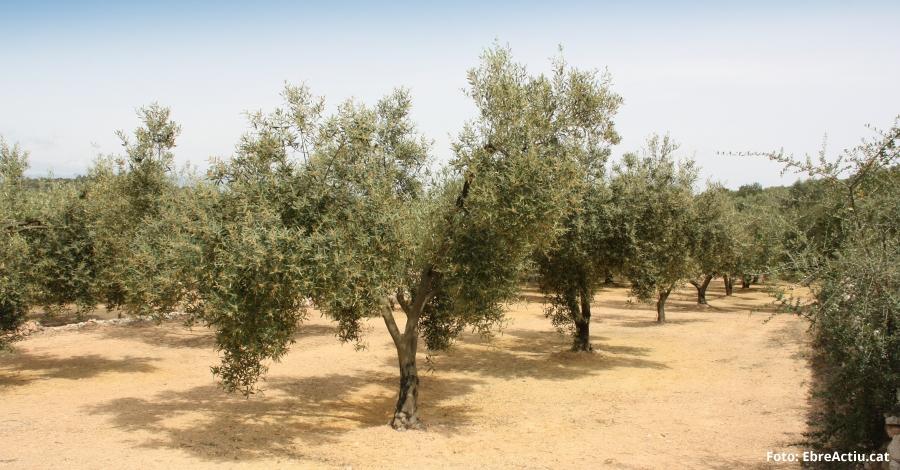 La falta de precipitacions al Baix Ebre i Montsià fa preveure una mala collita d'olives per tercer any consecutiu