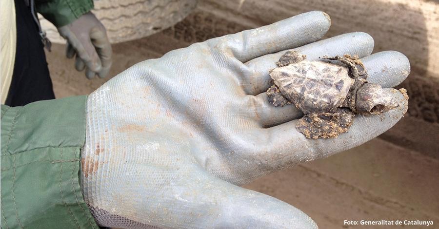 Constatada la reproducció de la tortuga babaua al delta de l'Ebre durant el 2017 | EbreActiu.cat, revista digital per a la gent activa | Terres de l