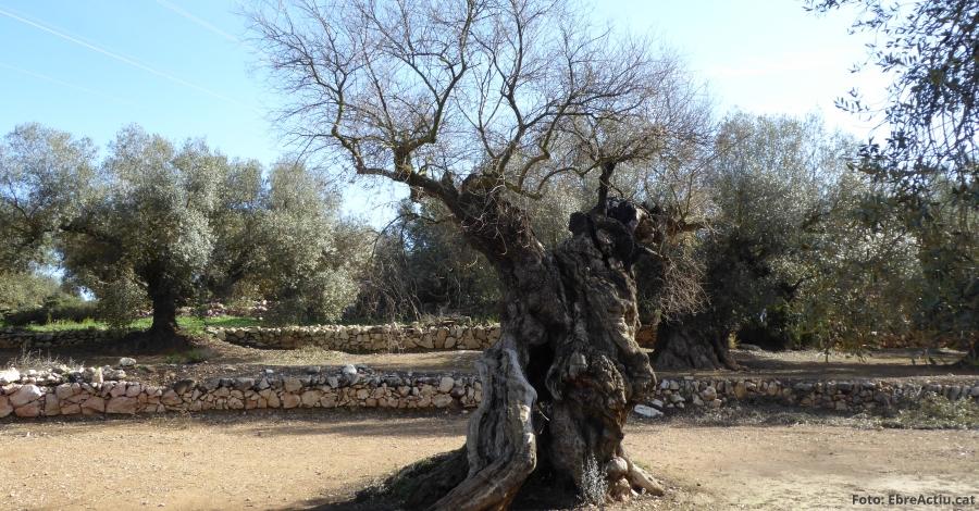 Entorn   Ulldecona requereix a una empresa de Sant Celoni que paralitze l'extracció d'oliveres inventariades